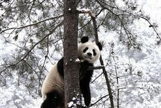 China's Qingling Panda Base has recently witnessed a wave of heavy snow, but the pandas there don't seem bothered by the chilly weather.    The base was established by the Chinese Government back in 1978, which has thrived into a paradise for pandas with a total number of 110-130 of them within the nature reserve.  (Source: Sina)