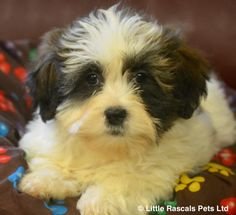 Beautiful Shichon boys and girls - Designer and Cross Breed Puppies For Sale