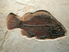 "Detailed Green River Fossil Fish Priscacara serrata ""An 18 inch layer specimen with extraordinary preservation""  F"