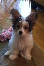 Image Result For Tibetan Terrier Mix Papillon Papillon Dog Poodle Mix Breeds Poodle Mix