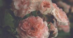 Garden Blush Signed Print, Roses Photo, Cottage Chic, Victorian, Dark Home Decor, Peach and Green Color Fine Art Photography Wall Print soft finish in picture