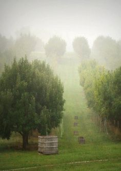 Orchard in the fog.