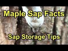"""Once the maple sap starts flowing, the question becomes, """"How do I store it, until I can boil it and make maple syrup?"""" Here are some interesting facts and h. Maple Syrup Taps, Homemade Maple Syrup, Regrow Vegetables, Sugar Bush, Tree Sale, Sugaring, Victory Garden, Farms Living, Fruit Trees"""