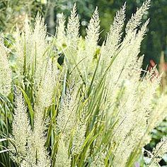 "Diamond Grass    This jewel's name comes from the way the morning light sparkles as it catches the dew. This stately grass has a graceful upright habit. It even performs well in shade. A wonderful focal point for beds, borders or even pots! Grows up to 4' tall. 3"" pot. Calamagrostis brachytricha  Sun Exposure: Shade/Partial Shade/Full Sun  Height/Habit: Up to 4' when in flower  Spread: 18 - 24""  Spacing: 24 - 40"""