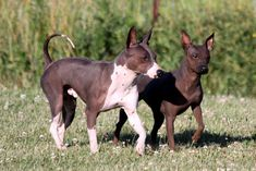 Right breed for you? American Hairless Terrier information including personality, history, grooming, pictures, videos, how to find a American Hairless Terrier and AKC standard.