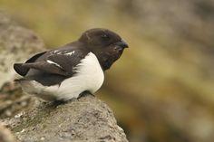 Alczyk Bird, Animals, Animales, Animaux, Animais, Birds, Animal