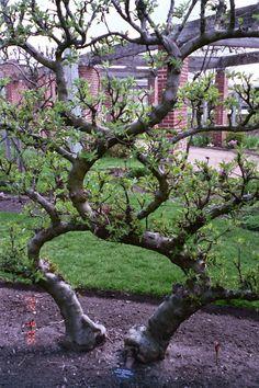 Espalier Apple Trees - Google Search