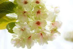 Green cherry blossom