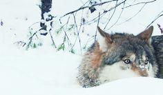 wölfchen ♥