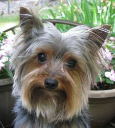 RUSTY in INDIANA is an adoptable Yorkshire Terrier Yorkie Dog in Cutler, IN. Hi everyone I would like you to meet adorable little Rusty. Rusty was born in 2010 and weighs 3.8 pounds. If you are lookin...