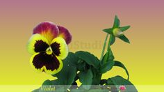 Timelapse of Growing and Opening Viola flower. Alpha Channel, Flowers, Florals, Flower, Blossoms
