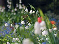 Leucojum aestivum ,Gravetye Giant' im Frühlingsgarten