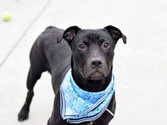 GINGER - A1112589 - - Brooklyn  TO BE DESTROYED 05/26/17: ****CAN BE PUBLICLY ADOPTED**** -  Click for info & Current Status: http://nycdogs.urgentpodr.org/ginger-a1112589/