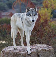 "beautiful-wildlife: "" Tundra Gray Wolf by Cheryl Nestico """