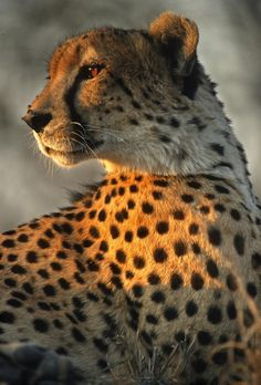 Cheetah peering into the last rays of the sun at sunset