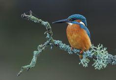 Lichen Kingfisher by Brian Scott