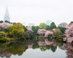 Japan's iconic flower represents the beauty and brevity of life.