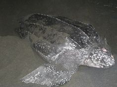 Leatherback sea turtle.  They do come to Newfoundland, where I live and can occasionally seen in our waters!  I have yet to see one, but go looking for them every year.