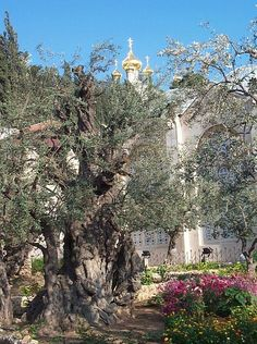 Present day Garden of Gethsemane, Jerusalem. To think, this is actually where Our Lord suffered so much after the Last Supper. Time has changed this once Olive Garden but it still remains... He was here, He was so afraid, and from His pain has bloomed all this beauty. Photo: users.wsg.net