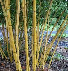 Phyllostachys vivax 'Aureocaulis' - Golden vivaz Zone 6 - Height 40-60 - Spread 3-5