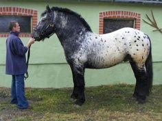5347 Pope Pedro 97. Noriker horse Pretty Horses, Beautiful Horses, Animals Beautiful, Draft Horse Breeds, Draft Horses, Horses And Dogs, Wild Horses, Noriker Horse, All About Horses