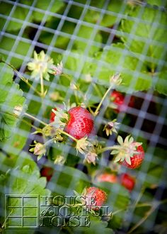 Lessons Learned with Growing Strawberries