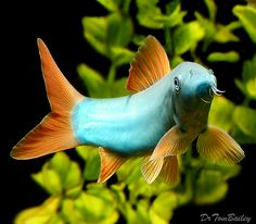 Redtail Blue Loach