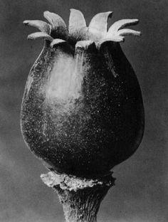 Karl Blossfeldt, Melandrium noctiflorum, Night-flowering campion, seed capsule
