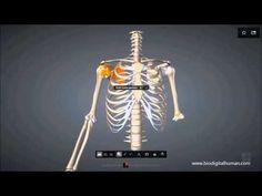 Rotatorenmanschette - YouTube