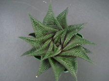 Succulent Haworthia limifolia