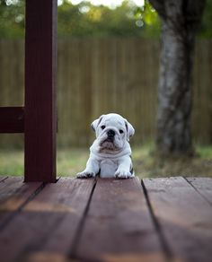Will you help me up the last step?? #English #Bulldog