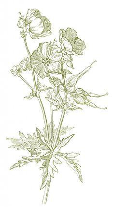 Beautiful Wild Geranium Drawing - 4 Options - The Graphics Fairy