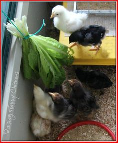 Baby chicks playing with a healthy lettuce treat.
