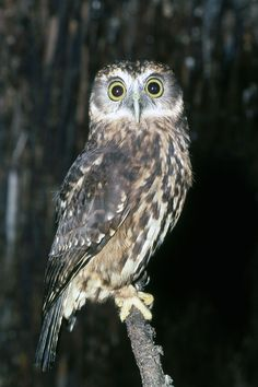 The Morepork NZ.  Called after its own call. It eats rats, mice, etc. It is one of the few NZ natives that has benefitted from introduced species. (Did its call come from it learning to ask the early pig hunters for more scraps ?)
