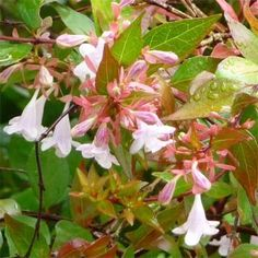 Small evergreen shrub with yellowish green leaves. Bell shaped fragrant white and pink flowers.