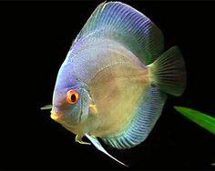 Symphysodon aequifasciatus Blue Diamond / Discus | Aquarium vissen database | gdaquarium