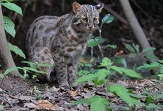 Tsushima Leopard Cat (Prionailurus bengalensis euptilurus)ツシマヤマネコ