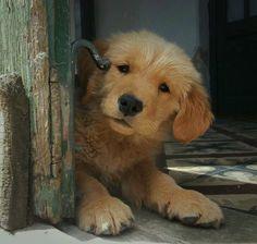 Golden Retriever Pup ~ Classic Look & Trim