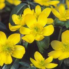 Winter Aconite  One of spring's first bloomers (often before the snow melts) winter aconite bears cup-shape sunny yellow flowers.  Name: Eranthis hyemalis  Growing Conditions: Full sun or part shade and moist, well-drained soil  Size: To 3 inches tall  Zones: 4-9