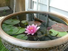 Water lily in a still pot (container water garden)