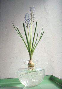 hyacinth hydroponics