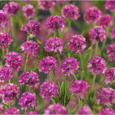 Strandnellik eller fjærekoll er en kompakt, tuedannende staude med gressliknende, grønt bladverk og søte, rosa, ballformete blomster på nette stilker i juni-juli. ...
