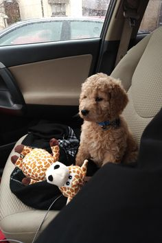 Cute Baby Dogs, Cute Dogs And Puppies, Little Puppies, I Love Dogs, Doggies, Mini Goldendoodle Puppies, Doodle Dog, Cute Little Animals, Cute Creatures