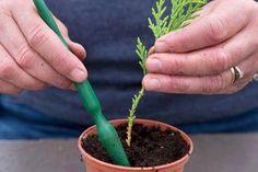 ihličnany - Takto si ich ľahko a lacno vypestujete doma Gardening For Beginners, Gardening Tips, Conifer Trees, Edible Garden, Growing Plants, Hobbies And Crafts, Garden Plants, Bonsai, Perennials