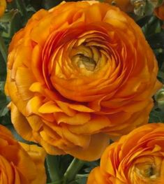 Ranunculus Success XXL is a beautiful pot plant with very unique flowers. The large flowers are taking care of an