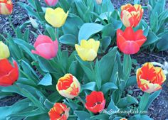 Display of vibrant tulips in my front garden