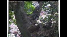 *** This is an AMAZING Video ***Hays Bald Eagle nest from eggs to fledge I DO NOT OWN ANYTHING IN THIS VIDEO, ALL THE COPYRIGHTS OF THE MUSIC & IMAGES BELONGS TO THEIR RESPECTIVE OWNERS.