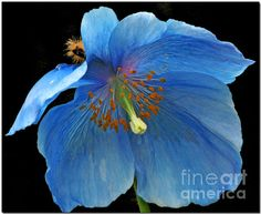 A Himalayan Blue Poppy found at the Rhododendron Species Foundation & Botanical Garden in Federal Way, Washington.