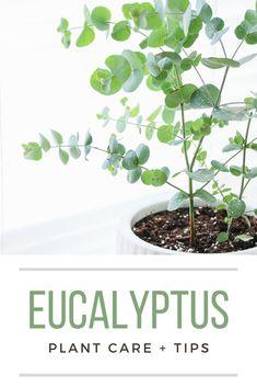 Outdoor Plants, Outdoor Gardens, Indoor Ferns, Easy Care Indoor Plants, Plants Indoor, Potted Plants, Eucalyptus Plant Indoor, Types Of Eucalyptus, Inside Plants