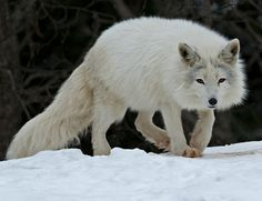 "beautiful-wildlife: "" Arctic Fox by Rudy Pohl Parc Omega Nature Preserve near Montebello, Quebec, Canada """